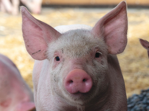 NZ's $750 million pork industry is at risk if ASF hit our shores.