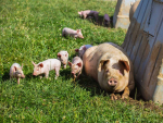 Pork NZ says the country's pig farming industry relies on experienced workers from overseas to meet a shortfall in staff with the necessary skills required to work with the country's pig herd.