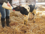 New-born need fresh colostrum