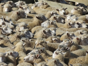 Vets comfy with sheep shipments