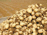 Border controls hit spud growers