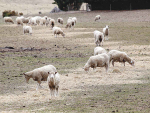 Rising costs of feed and lower prices for stock are the order of the day in drought-hit Northland.