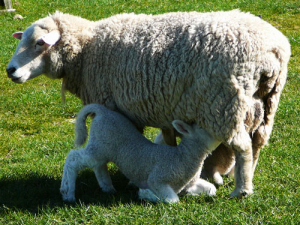 The red meat sector achieved another record high lambing percentage this spring.