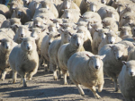 Achieving target weights in hoggets
