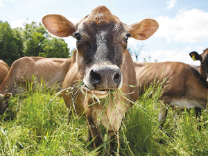 Milk fever and bloat can arise from fast-growing winter pasture.