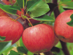 Apple and stonefruit industry members have welcomed MPI's decision to release the plants from containment.