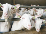 A common issue with goats is over-conditioning during the previous lactation, and during the period leading up to kidding.