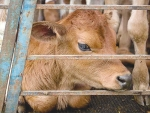 The proposed animal welfare regulations include new rules for handling bobby calves.
