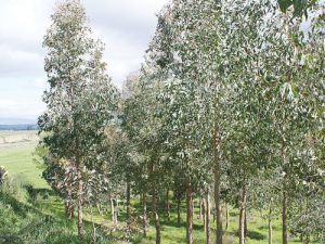 More farm planting. These trees are eucalypts, which are used for extra timber strength, quality paper and some species showing lots of potential for durable posts.