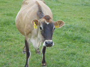 The ability of cows to become pregnant each year to calve in a seasonally concentrated period is critical to the profitability and sustainability of New Zealand's pasture-based systems.