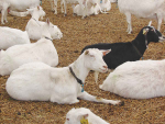 Consumers want more goat milk products