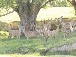 Pregnant hinds in October. It's now possible to buy stags with breeding values for fawning date. Photo: Richard Hilson
