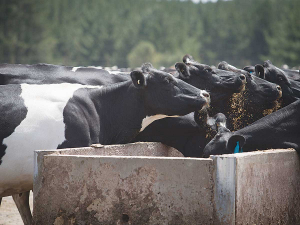 Cows with low blood calcium have less chance in resisting infection or fighting current ones.