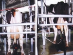 Canadian dairy giant has zero tolerance policy on dairy cow welfare.