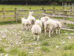 Show launch for latest sheep breed