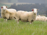 Wool sector remains in limbo