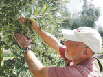Plant & Food Research fruit tree physiologist Dr Stuart Tustin examines a grape-like bunch of olives. Photo: Supplied.