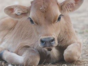 New animal welfare rules will also focus on treatment of bobby calves.