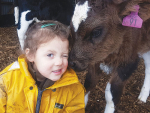 Nyla Lauridsen, 7, of Te Awamutu, won the 7 & Under section of the IHC photo competition run alongside the calf auction scheme with this photo of her sister Evie, 3, being licked by a calf. SUPPLIED