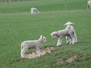 Despite Covid-19 restrictions, farmers achieved a near record lambing percentage according to a B+LNZ report.