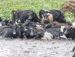 Images like this of cattle in mud sparked the winter grazing campaign last year.