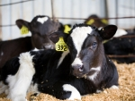 Dairy-beef calves attractive option for dairy farmers