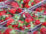 Strawberry prices down as exports drop