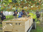 With harvest underway, NZ kiwifruit growers will need 23,000 workers for the season.