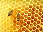 130,000 bees go under the microscope