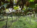 OPAC is expecting significant growth in kiwifruit processing volumes in the next three years.
