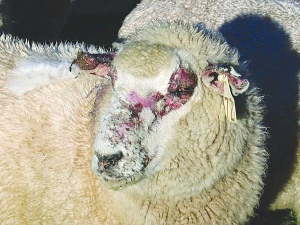 FE causes damage to the bile system of the liver of the animal which can reduce a ewe's lifetime productivity by 25%. A secondary effect is photosensitisation, which causes skin reddening and peeling, leaving affected area susceptible to other infections.