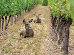 They may be beautiful, but deer create havoc in the vineyard.