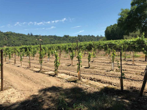Replanting vines near a riparian boundary in Sonoma County.