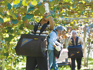 Bay of Plenty's kiwifruit sector has 1200 vacancies for pickers and packers.