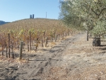 Years of drought are having a major impact on the Californian wine industry.