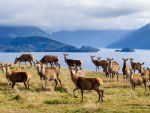 Sales of New Zealand chilled venison are growing.
