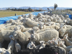 Heavily in-lamb ewes carrying multiple lambs need to have a minimum of 1400kgDM/ha of pasture underfoot at any stage to optimise their dry matter intake.